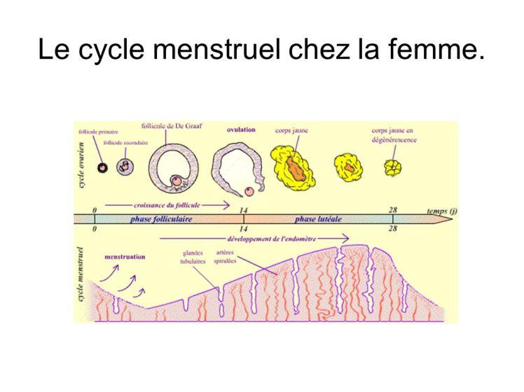 Le cycle menstruel chez la femme.